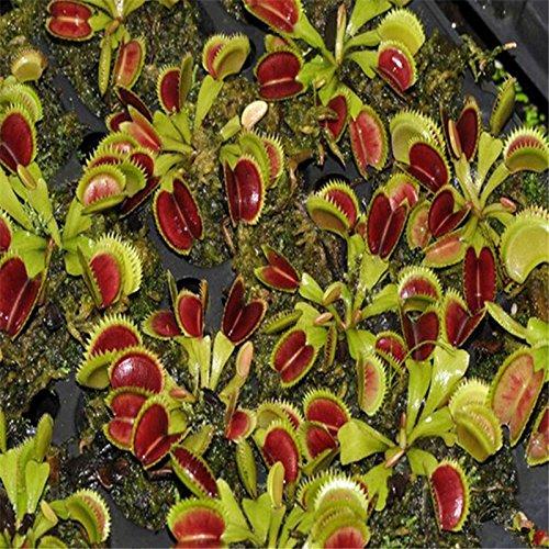 Graines 10pcs Potted insectivores plantes clip Dionaea Muscipula géant Venus Flytrap Seeds