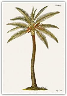 Coconut Palm Tree (Cocos nucifera) - From Griffith Hughes 18th Century The Natural History of Barbados - Vintage Botanical Illustration by James Mynde c.1750 - Hawaiian Master Art Print - 13 x 19in