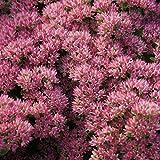 Blumixx Stauden Sedum Telephium-Hybr. 'Herbstfreude' - Hohe Fetthenne, im 0,5 Liter Topf, braunrot blühend