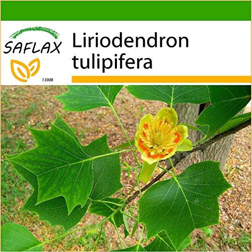 SAFLAX - Echter Tulpenbaum - 20 Samen - Mit keimfreiem Anzuchtsubstrat - Liriodendron tulipifera
