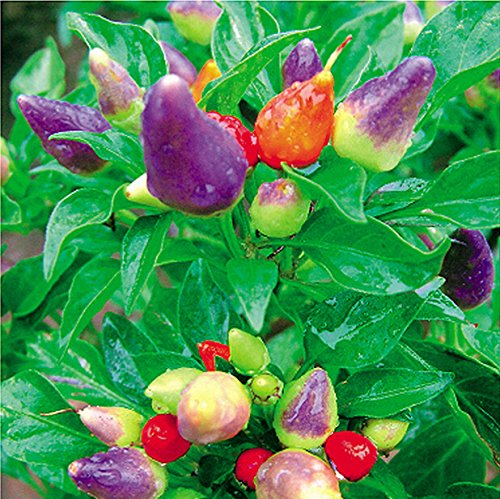 30pcs / sac graines ornemental Hot Pepper multicolores graines de légumes Prairie Fire Edible Cultivez flores bonsaï intérieur SeedsAndPlants sementes