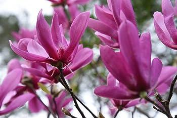 Perfect Plants 5-Gallon Ann Magnolia Tree