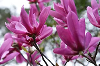 Best magnolia tree for sale Reviews