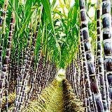 100 Piezas De Semillas De Caña De Azúcar Deliciosas Plantas De Frutas Jugosas Decoración De La Granja Del Jardín Del Hogar Semillas de caña de azúcar
