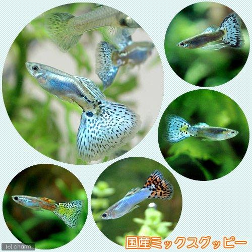 charm(チャーム) (熱帯魚)国産ミックスグッピー(3ペア) 【生体】