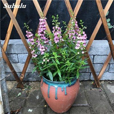 100pcs Belles aromatiques gypsophile Graines vrai étoilées fleurs en pot Gypsophila paniculata All Over The Sky Étoile Bonsai Fleur 9