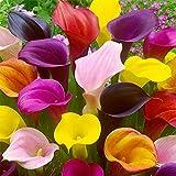 BULBOS DE FLORES para una floración de primavera/verano/otoño (5, CALLE EN MEZCLA -...