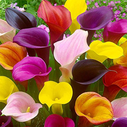 Hybrid Calla Lilies Mixed Value Pack - 5 Bulbs/pkg - Bright Colors Red, Orange, Yellow, Pink