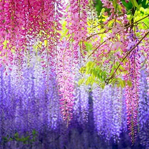 Piante rampicanti semi di fiori viva misto semi glicine Home Garden Zdmathe