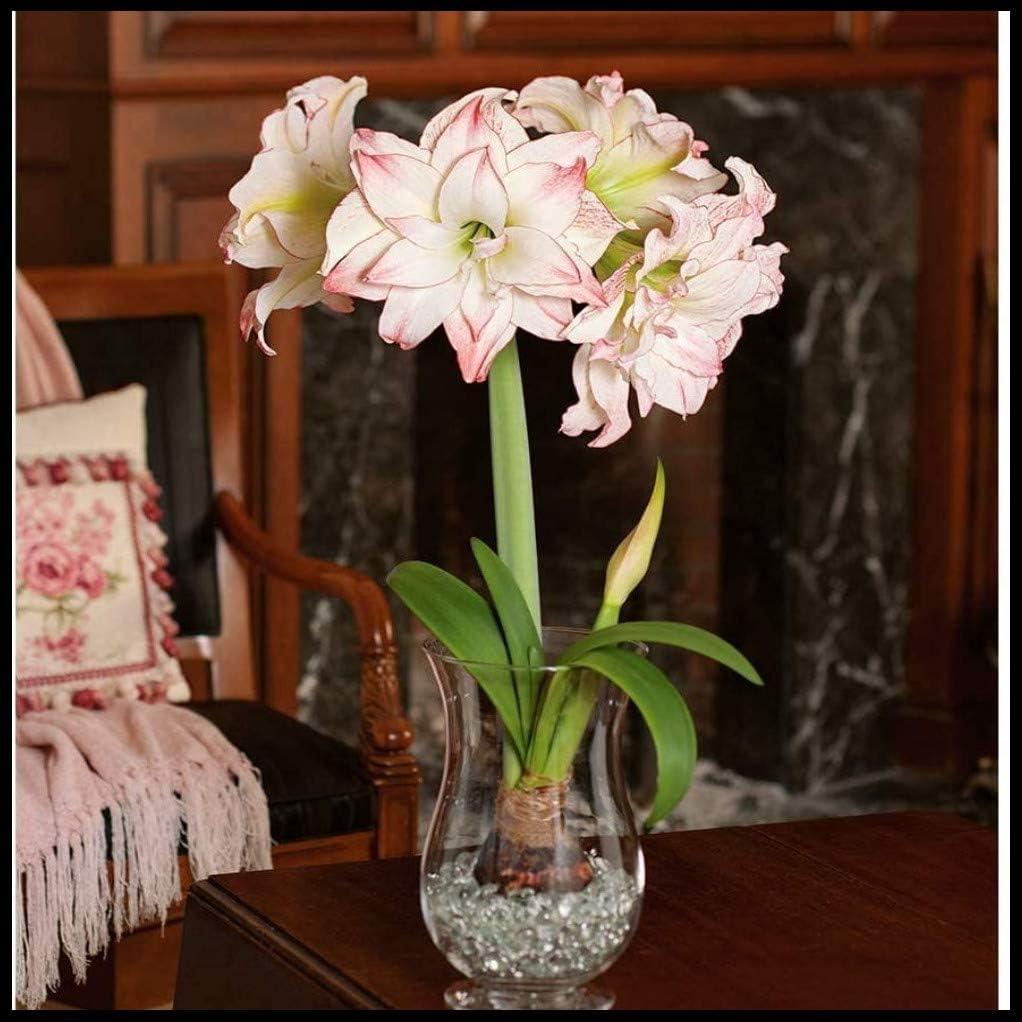 Belleza Pura Y Encantadora.-Blanco,1 Bulbos Bulbos de Amaryllis,Semillas Flores Exterior,Hermosa Juventud Belleza