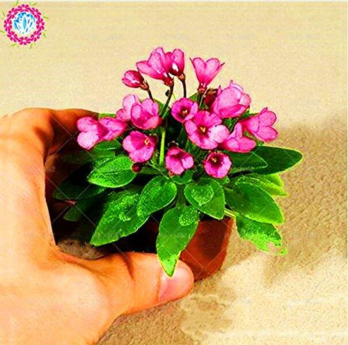100pcs couleurs mélangées Mini Violet Graines, Graines violettes africaines, plantes Mini jardin Violet Fleurs vivaces herbes Matthiola Incana Seed 2