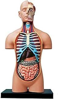 Human Torso Model, 38 CM Half Open Menselijk Interne Orgels Anatomie Model Voor Onderwijs Onderwijs School Verwijderbare V...