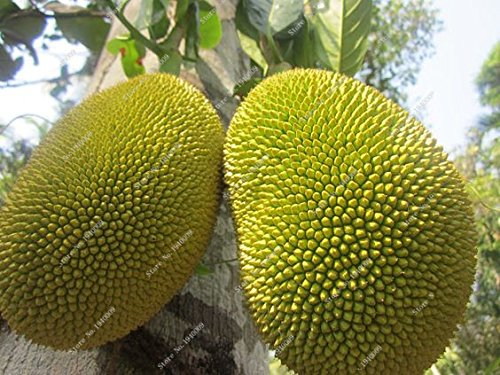 20 / Sac Ananas Cerises sol Graines Mollys Heirloom bio fruits rares Graines d'herbe en Chine pour la santé