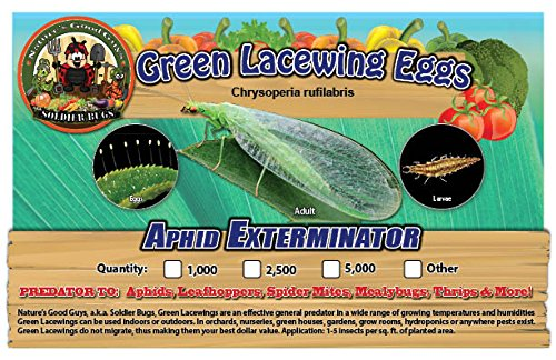 Green Lacewing 2,500 Eggs - Good Bugs - Aphid Exterminator