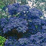 1 X CEANOTHUS 'Concha' Evergreen Shrub Hardy Garden Plant in Pot