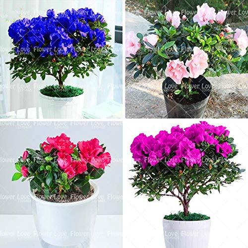 GETSO 2ST / Bag Seltene Gardenia Bonsai-Birnen Pflanzen Cape Jasmin-Blumen-Bonsai-Birnen Gardenie Blumen Indoor Topfpflanze: Mix