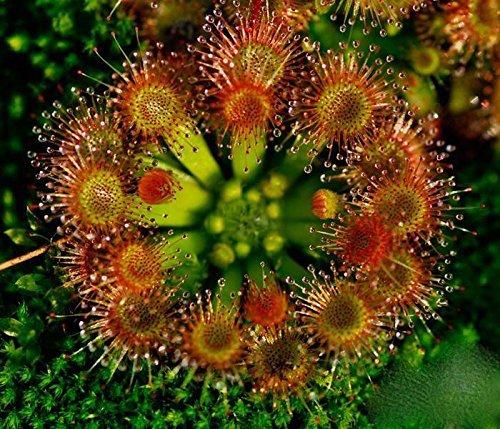 20 graines Hardy Sundew - Plante carnivore, Drosera rotundifolia