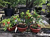 Indoorbonsaiandexotics pre bonsai weeping cherry tree. Just needs a pot