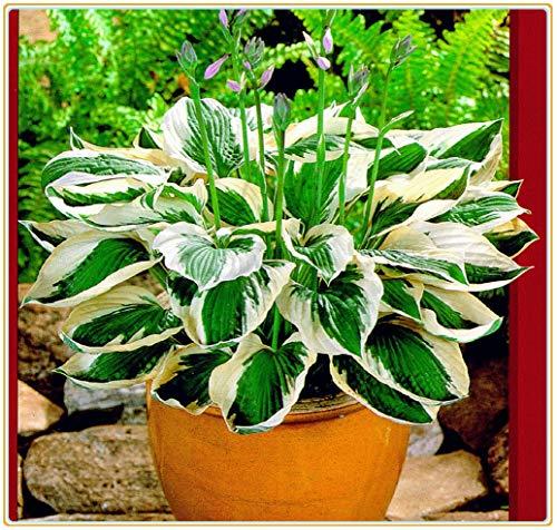 Funkien pflanze winterhart,Seltene grüne Straßendekorationsblumen zu Hause, starke Gartenresistenzpflanzen-10Rhizome
