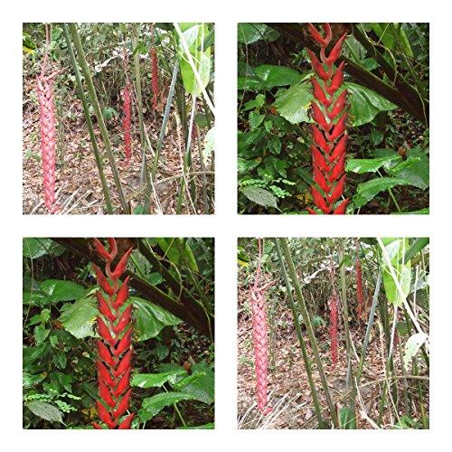 Heliconia longa - spektakuläre Blüten - 5 Samen - Kübelpflanze - sehr selten !