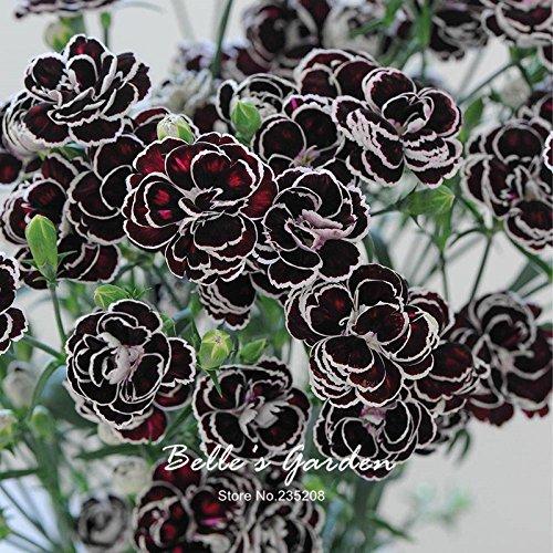 50pcs Dianthus 'Blackjack' semi Hardy fiore pianta semi Bonsai giardino della casa Pianta in vaso