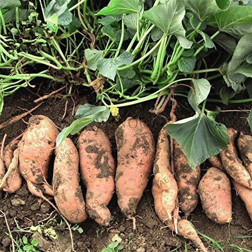HONIC 200pcs / Bag Lila Süßkartoffel Bonsai Pflanzen super lecker Gemüsepflanzen für die Bepflanzung heimischen Garten: 3