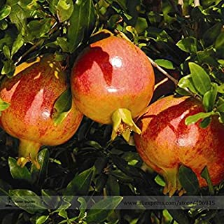 TopOne Sales Rare Sochi Dwarf Light Red Yellow Sweet Pomegranate Shrub Fruit Seeds, Professional Pack, 20 Seeds / Pack, Cold Hardy Plant