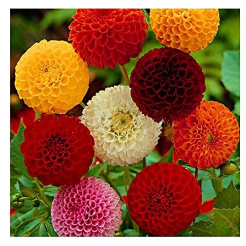 Lot de 20 graines de Dahlia de Jardins à petites fleurs doubles Pompon Mix - plante annuelle