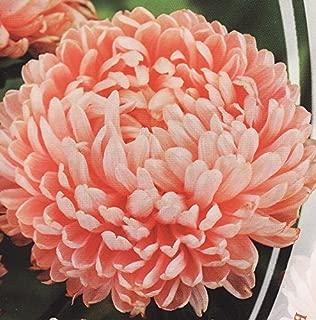 Aster Flower Seeds Yanina (peony) annuals from Ukraine