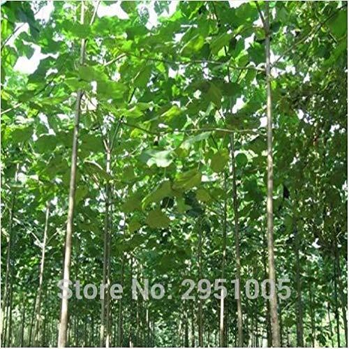 SANHOC 500pcs Paulownia elongata Paulownia New Waldbaum, schnell wachsender Baum Paulownia Baum im Freien -