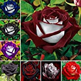 Vistaric 100 unids/bolsa semillas color de rosa, flor rosa negra con borde blanco, semillas de flores de bonsái para plantas de jardín en el exterior semillas de flores de jardín al aire libre