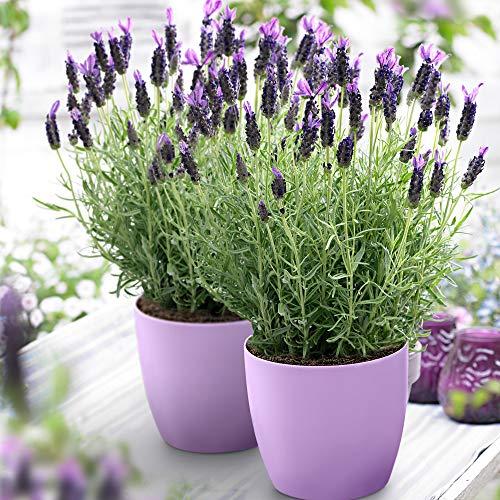 3x Lavandula stoechas Anouk | Lavendel...