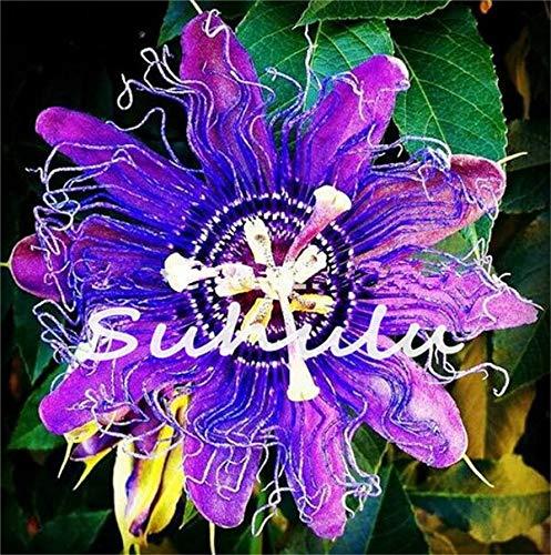 Granadilla 50 Stücke Passiflora Samen Passionsfrucht (Passionsblume) Bonsai Blumensamen Neue Pflanzen Obstbaum Samen Für Hausgarten