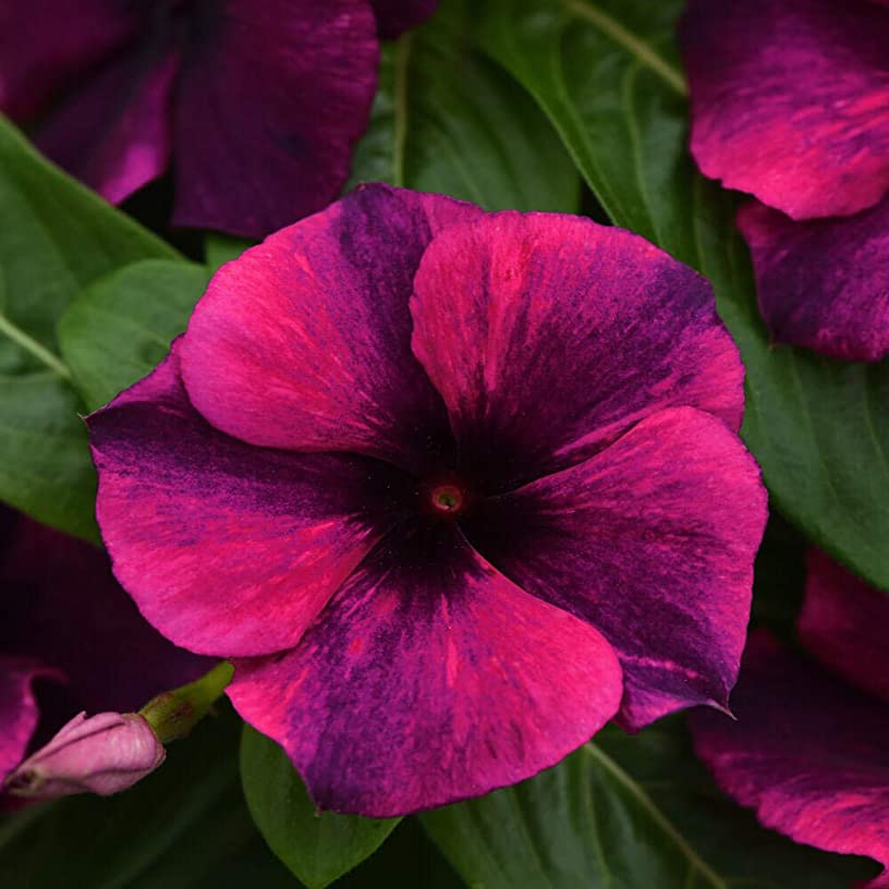 Outsidepride Tattoo Black Cherry Vinca Ground Cover Seed - 100 Seeds