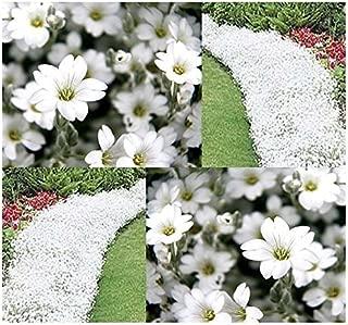 Siam ShoppingBULK Cerastium tomentosum Snow-in-Summer FLOWER SEEDS Rock Gardens - Zone 3 - 10