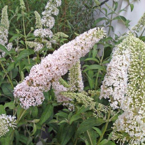 Zwerg-Schmetterlingsflieder Reve de Papillon White® - Sommerflieder (Buddleja) Pflanze in weiß, halbschattig und winterhart - Flieder-Strauch von Garten Schlüter