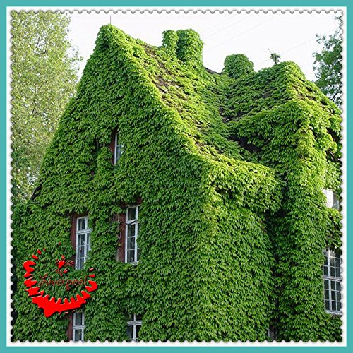 40 graines Creeper Parthenocissus tricuspidata Semence Belle Decro votre maison F008 Intéressant