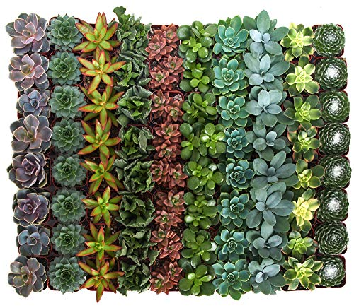 Shop Succulents | Assorted Collection | Variety Set of Hand Selected, Fully Rooted Live Indoor Succulent Plants, 100-Pack