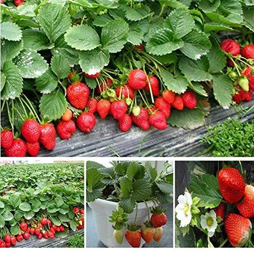 Beautytalk-Garten 50 Stück Kletter-Erdbeere 'Hummi', Rote Erdbeeren Fresca,lecker Erdbeerbäumchen schnellwachsende Klettererdbeere, winterhart mehrjährig Obst Pflanzensamen