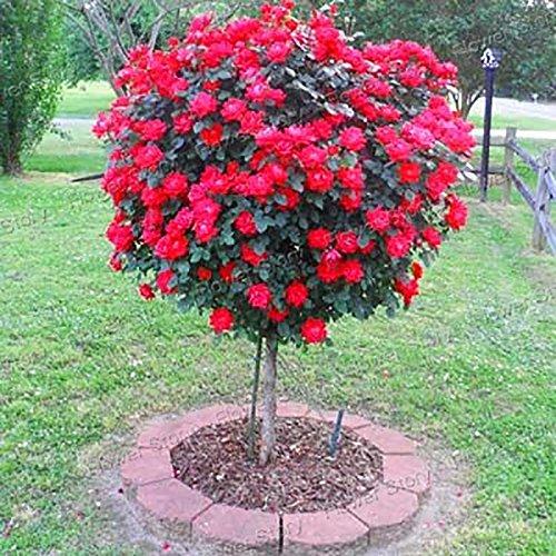 100 Red Rose Tree Graines de bricolage jardin Balcon Jardin en pot de fleur nouvelle usine 2017