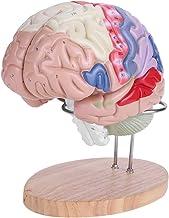 Modelo anatômico do cérebro, modelo médico do cérebro, diferentes cores vívidas, mais claramente, 4 peças escolares para c...