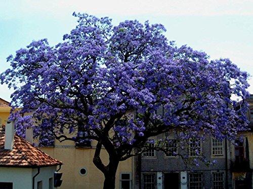 Asklepios-seeds® - 250 Samen Paulownia tomentosa, Blauglockenbaum, Kaiserbaum, winterhart