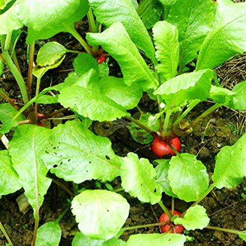 1bag = 100pcs graines Big Pack Cherry Belle Radis Tomate Bonsai FRUITS Légumes Graines Planteur bio Maison & Jardin