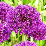 allium purple sensation bulbs x10