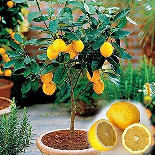 Dwarf Improved Meyer Lemon Tree (2 to 3 FT) - (Cannot Ship to AZ, TX, FL, CA, AK, HI)