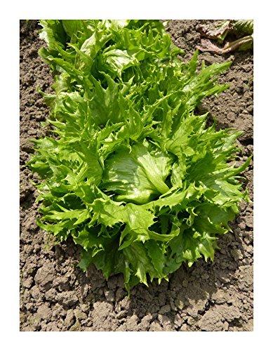 Lactuca Sativa L. Lettuce Batavia Ice Laitue Batavia Reine Des Glaces SEM02