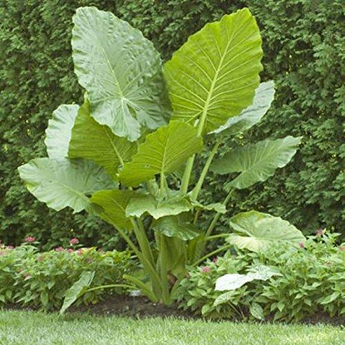 1 Elephant Ear -Colocasia esculenta- Give your garden a tropical look