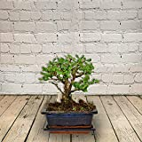 All Occasions, Bonsai Tree Perfect Mini Bonsai Plant for Home, Bedroom, Kitchen and Living Room, Perfect for Clean Air, Delivered Next Day Prime
