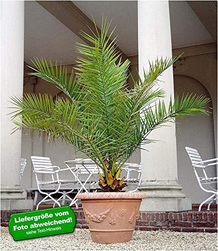 BALDUR-Garten Kanarische Dattelpalme, 1 Pflanze Phoenixpalme