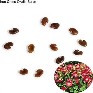 lamta1k 10 Piezas Bulbos de TR¨¦Bolis de Oxalis TR¨¦Bolis f¨¢ciles de Plantar Flor de Hoja Calidad de semilla y Altas tasas de Supervivencia - Bulbos de Oxalis de Cruz de Hierro